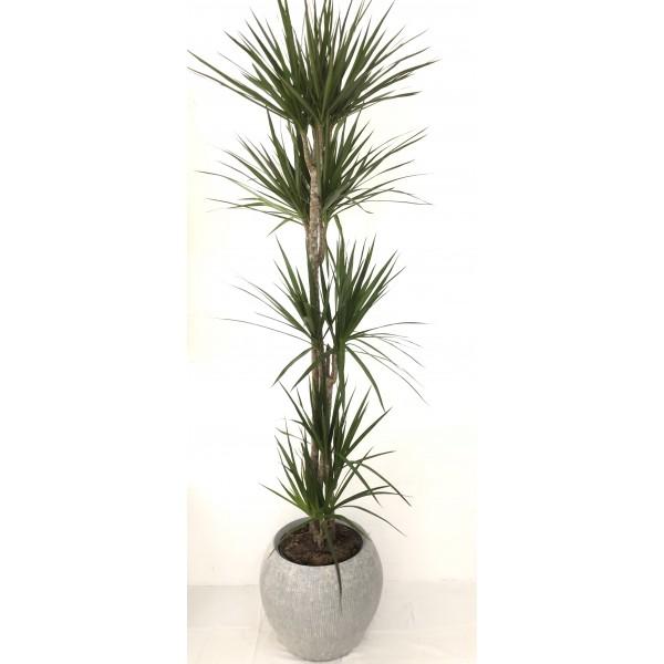 Dracaena marginata 5 Plantas