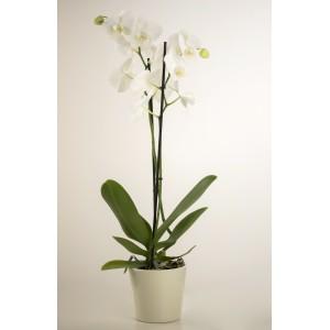 Orquídea phalaenopsis blanca con macetero