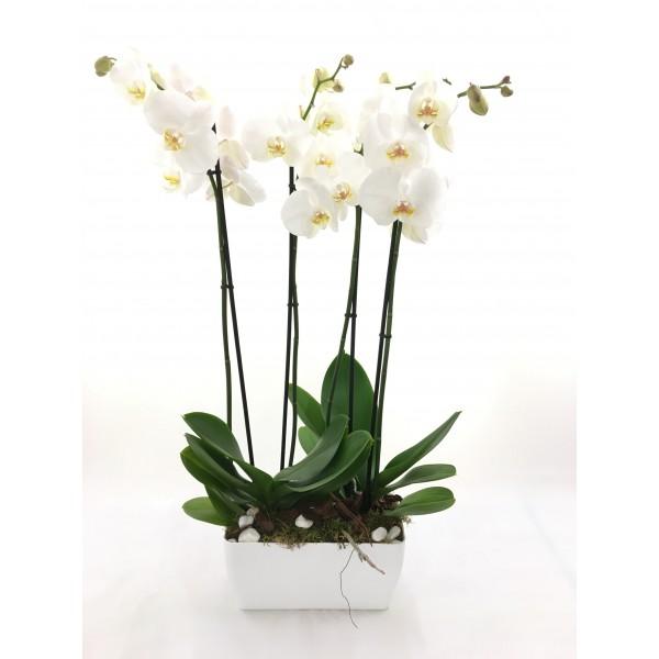 Centro dúo orquídeas blancas