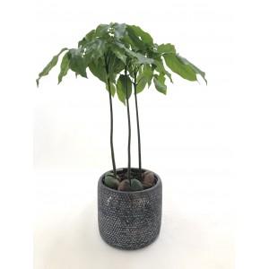 Castañospermum Australes