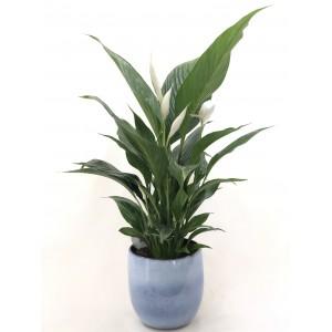 Spathiphyllum (aire puro)